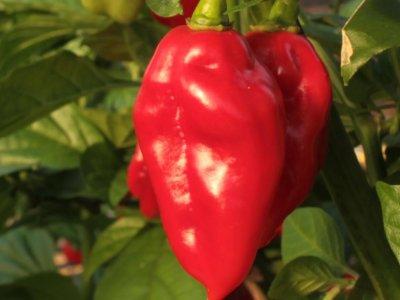 Rigtige mænd dyrker chili