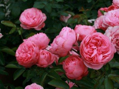 Roser skal klippes