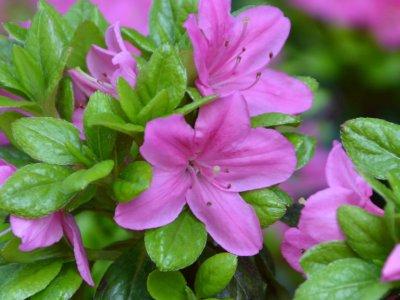 Rhododendron er en gave til haven