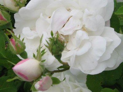 Roser i knop får gødning