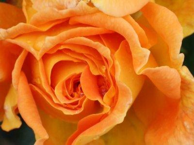 Gode råd til roser