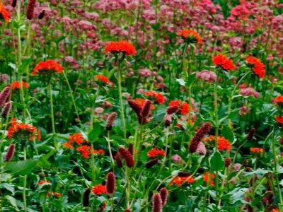En juni-have med stauder
