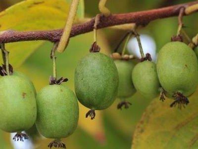 Lær at dyrke minikiwi