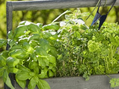 Plant og plej dine krydderurter